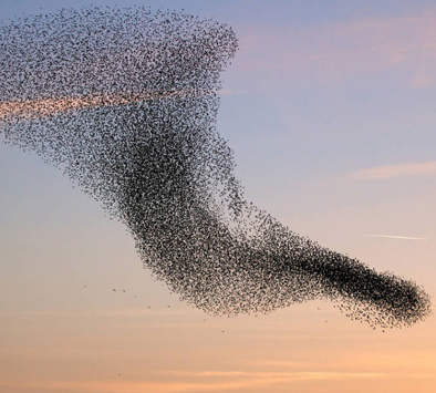starling murmuration small